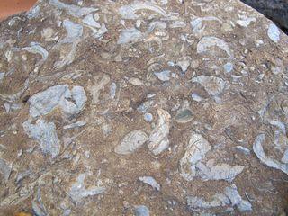 Rock Mussels